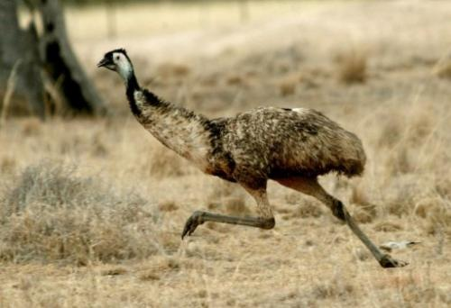 File picture. Keepers at an Australian wildlife park said they were concerned and baffled at the theft of an emu