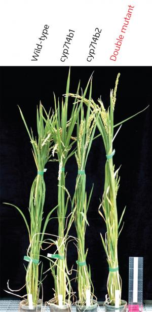 Finding the missing genes in hormone-biosynthesis pathway hints at subtle control of growth in rice