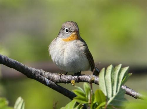 Finland's nature conservation areas unable to sustain forest bird species in future
