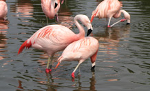 Flamingos need friends too