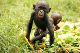Food for friendship: Bonobos share with strangers in exchange for company