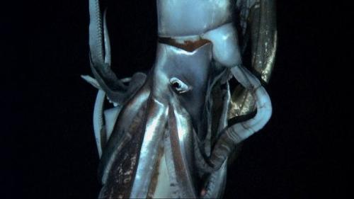 Footage captured by NHK and Discovery Channel in July 2012 shows a giant squid in the sea near Chichi island