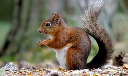 Formby's red squirrel population recovering