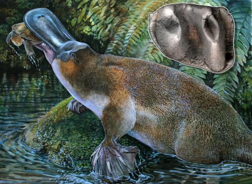 Fossil of largest known platypus discovered in Australia