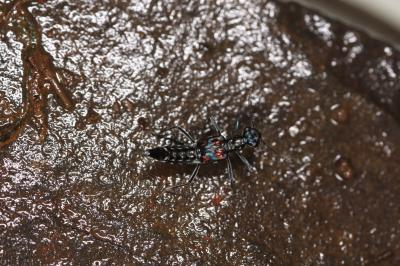 Four new species of water-gliding rove beetles discovered in Ningxia, China