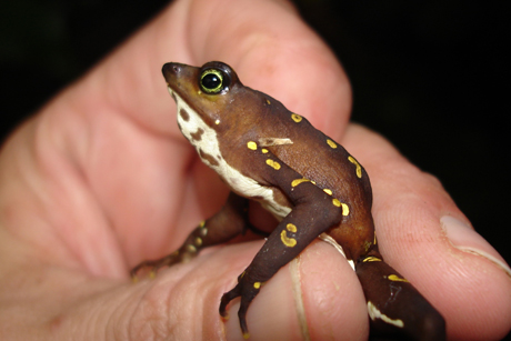 Genome offers clues to amphibian-killing fungus