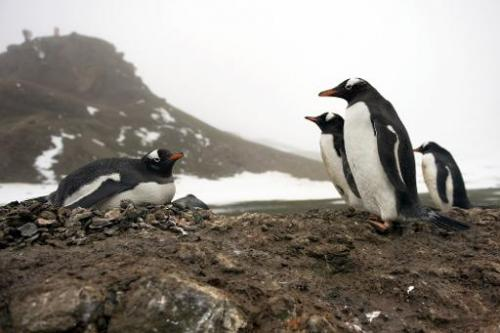 Gentoo penguins are seen on the shore of King George Island, Antarctica, on October 28, 2008