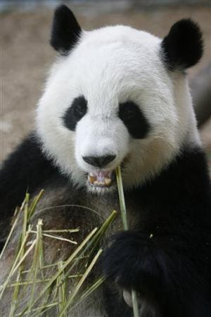 Giant panda at Atlanta zoo expecting her 4th cub