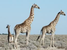 Giraffes are 'choosy' when hanging out with friends