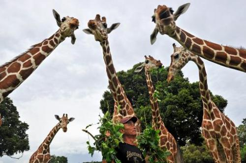 Giraffes being fed leaves on September 18, 2011 at Calauit Game Preserve and Wildlife Sanctuary in Calauit Island, Busuanga prov