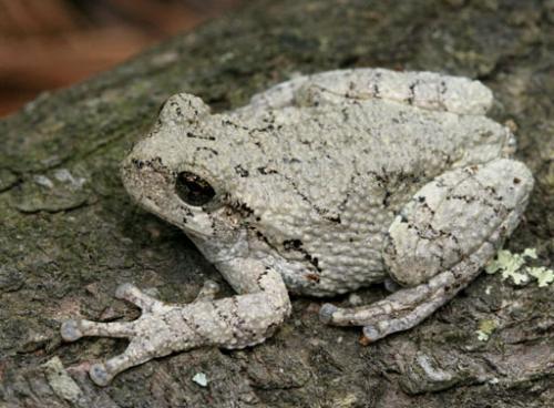 Gray treefrog, Hyla chrysoscelis.