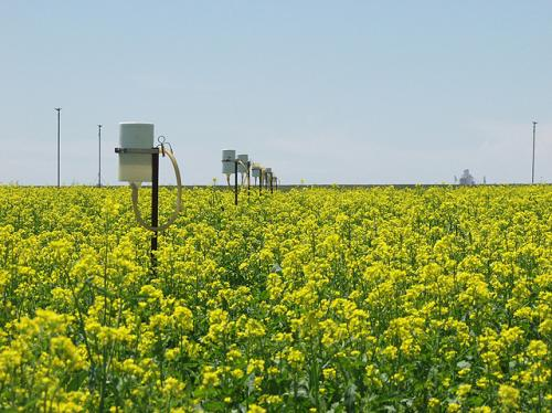 Great plains producers could profit from spring canola crops