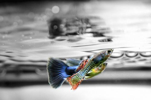 Guppies lie about mate choice to trick rivals