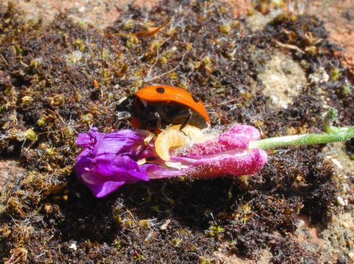 Harlequin ladybirds escape enemies while native species succumb