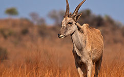 Herbivores help prevent African savannah from becoming a forest