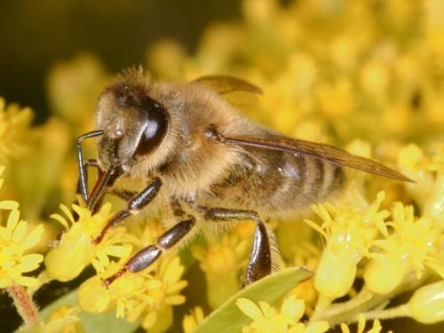 Honey bees demonstrate decision making process to avoid difficult choices