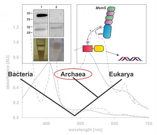 How Archaea might find their food