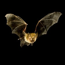 How bats took over the night