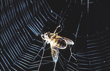 How electricity helps spider webs snatch prey and pollutants