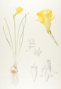 How the daffodil got its trumpet