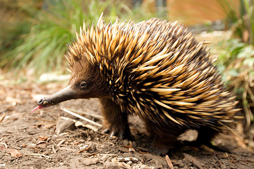 How the echidna lost its venom