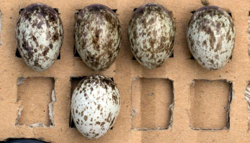 How tree sparrows recognize foreign eggs in their nests