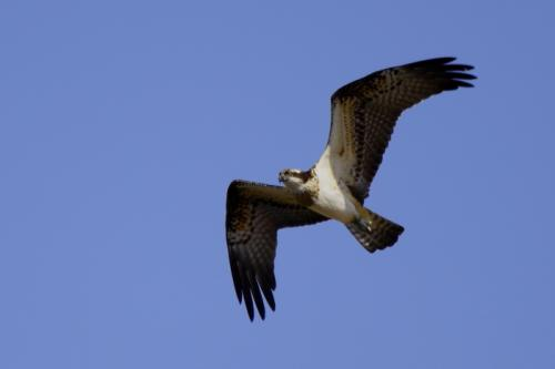 Human expansion is leaving the osprey of the Canaries cornered