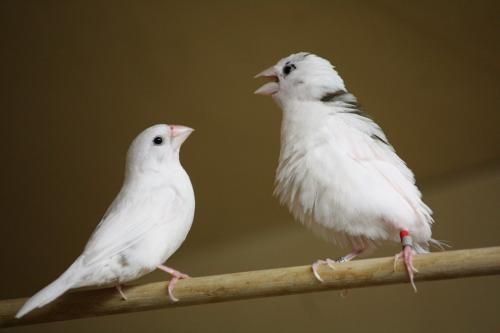 Human language and birdsong both acquired through stepwise imitation