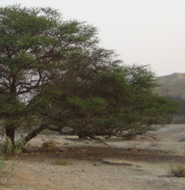 Acacia trees crucial to Israel's desert bats, study finds