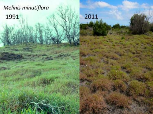Impacts of plant invasions become less robust over time