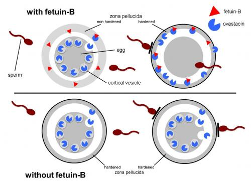 Important fertility mechanism discovered