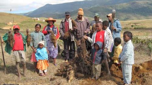 Improving food security and conserving yam diversity