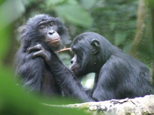 In bonobos, attractive females are more likely to win conflicts against males