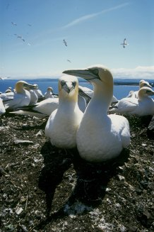 Incredible 'gannet cam' captures birds' eye view