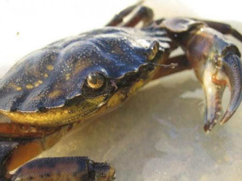 Invasive crabs help Cape Cod marshes