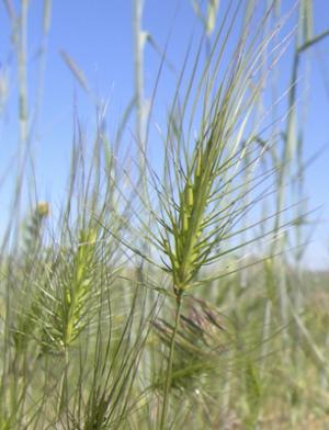 Invasive grass known as medusahead discovered in Montana