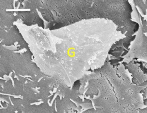 Jagged graphene edges can slice into cell membranes
