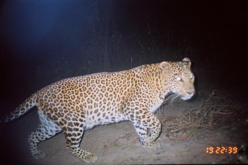 Leopards in the backyard