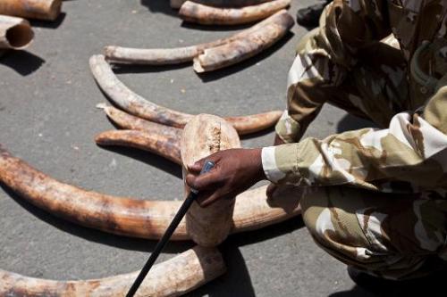 Kenyan rangers inspect ivory tusks at Mombasa Port on August 21, 2013