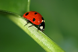 Lady beetle diet influences its effectiveness as biocontrol agent