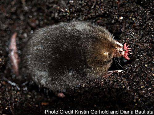 Leading by the nose: Star-nosed mole reveals how mammals perceive touch, pain