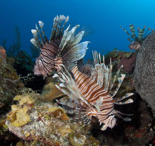 Lionfish found following the current trend