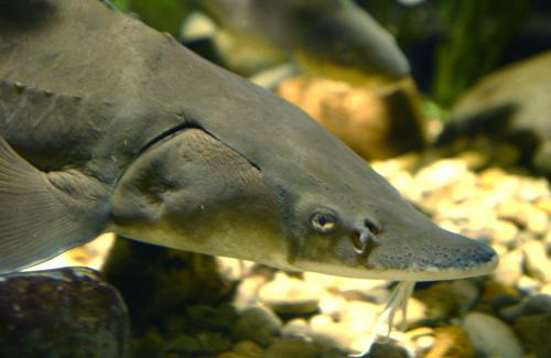 Living fossils? Actually, sturgeon are evolutionary speedsters