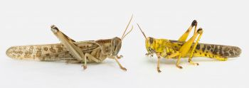 Locust research shows how the company you keep shapes what you learn