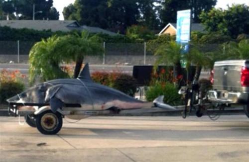 Mako shark caught off California could be record