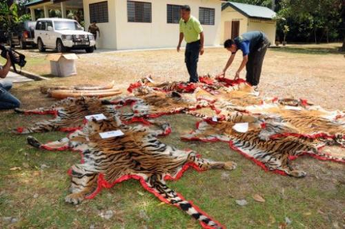 Malaysian Department of Wildlife and National Parks officers display confiscated tiger skins, February 15, 2012