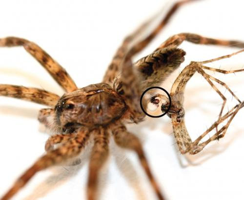Male dark fishing spiders found to die spontaneously after mating
