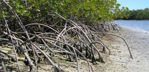 mangrovescou