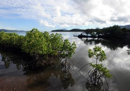 Mangrove trees are seen at Ulugan Bay shores in Puerto Princesa, Palawan island, south of Manila, on April 25, 2012