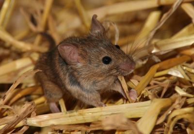 Mate choice in mice is heavily influenced by paternal cues